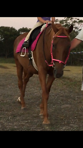 Quiet stock horse mare Berkeley Vale Wyong Area Preview