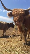 4 highland cows, very friendly Mount Barker Mount Barker Area Preview