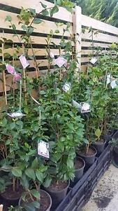 CAMELIAS IN 200MM POTS 80CM TO 1.2MTS FROM TOP OF POT Skye Frankston Area Preview