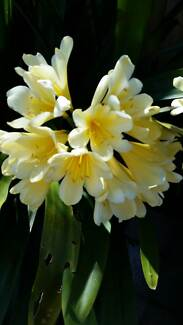 CREAM CLIVIAS - VERY MATURE 15 YEARS OLD Box Hill South Whitehorse Area Preview