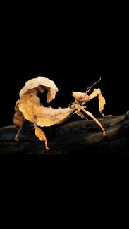 "Spiny Leaf Insect ""newly hatched"""