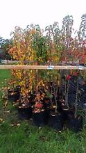 CAPITAL AND CLEVELAND ORNAMENTAL PEAR TREES, 2 SIZES FROM  $58 Skye Frankston Area Preview