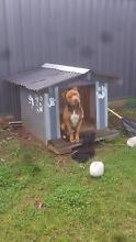 Amstaff FREE to good home!!!! Campbelltown Campbelltown Area Preview