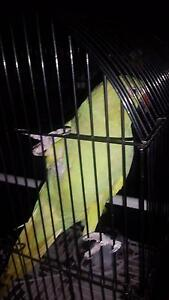 Green female indian ringneck Ipswich Ipswich City Preview