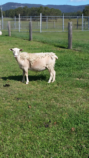 Tame young dorper ewe lambs, young adult ewe and wether.