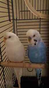 Budgies boy and girl with their gage Morphett Vale Morphett Vale Area Preview