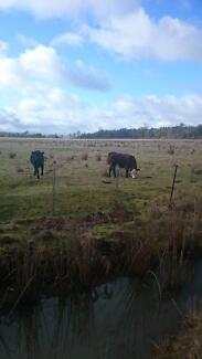 Heifers for sale Elizabeth Town Meander Valley Preview