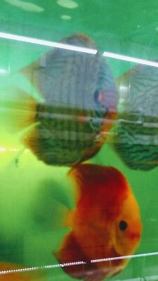 Blue panda Discus Fish Huge 7""