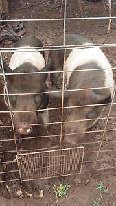 Pigs for sale Gordon Moorabool Area Preview