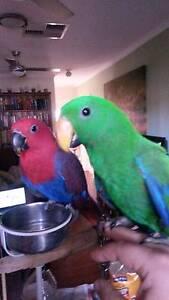 Hand Raise Male Eclectus Parrot Para Vista Salisbury Area Preview