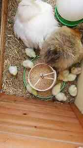 Baby silkie chicks Clarence Town Dungog Area Preview