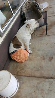 Aussie Bulldog Female Purebred