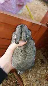 Baby lop bunnies Devonport Devonport Area Preview