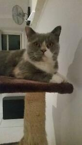 BRITISH SHORTHAIR - MISSING / STOLEN Edgeworth Lake Macquarie Area Preview