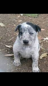 Cattle Dog Cross Puppies Badgerys Creek Liverpool Area Preview