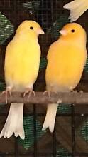 Canaries - Male $25 and Female $20 Bonogin Gold Coast South Preview