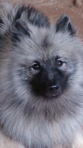 Keeshond male Cambrai Mid Murray Preview