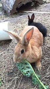 Rabbits 4 sale adults and babies  male and female Mornington Clarence Area Preview