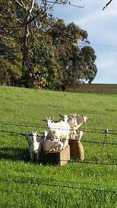 Male baby goats Sassafras Latrobe Area Preview