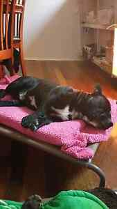 Found Black Staffy Male ( maybe crossed ) South Mackay Mackay City Preview