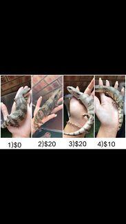 Blue tongue lizards for sale.