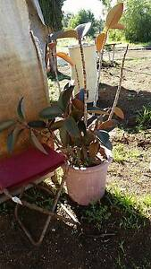 Large Rubber Tree - Approx 1M Tall - Strong & Healthy! Wooroloo Mundaring Area Preview