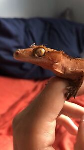 Juvenile male red created gecko.  With tank.