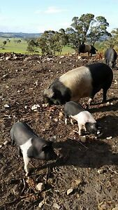 Pigs Oatlands Southern Midlands Preview
