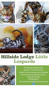 Pure Pedigree Bengal Kittens Registered Breeder Australia's Best Pets Glenorie The Hills District Preview
