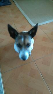 Free to good home Mini Foxie x Jack Russell