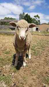 2 x ram lambs Bundoora Banyule Area Preview