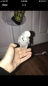 Grey English Budgie