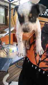 Staffy x border collie pups Hebersham Blacktown Area Preview