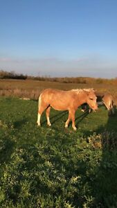 Beautiful Palomino mule gelding for sale