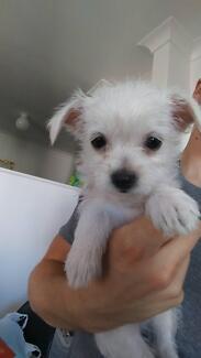 Maltese Cross Chihuahua Puppies