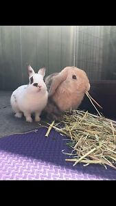 2 desexed bonded rabbits need a good home Pascoe Vale Moreland Area Preview
