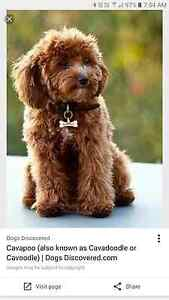 Looking for a cavoodle / cavapoo thats read from december onwards Maroochydore Maroochydore Area Preview