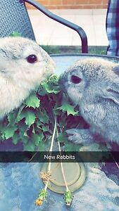 2 Nice & Friendly Female Rabbit Wiley Park Canterbury Area Preview