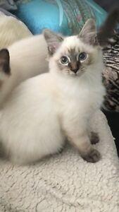 Lynx point kitten