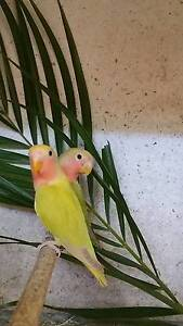 PEACHFACE LIME GREEN POSSIBLE SPLIT LUTINO/CINNAMON PIED Helensvale Gold Coast North Preview