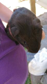 Baby chocolate self female Guinea pig