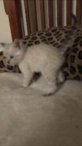 Kittens F7 Snow Savannahs  $500