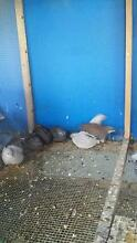 King quail a pair (male+female) for $ 10 Noble Park Greater Dandenong Preview