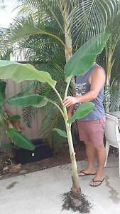 Real Lady Finger Banana Plants 1mtr+ high $15ea Avail Now Kingston Logan Area Preview