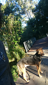 MUNTA,  needs a new loving family Upper Coomera Gold Coast North Preview
