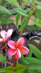 Frangipani Clarkson Wanneroo Area Preview