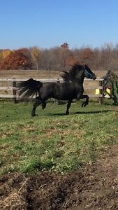 Stunning Friesian Stallion