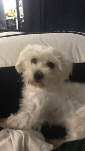 Wanting a Maltese Female Puppy