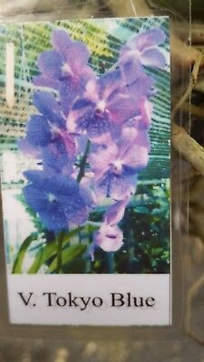 Orchid Vanda Tokyo Blue In Spike Exotic Tropical Plants