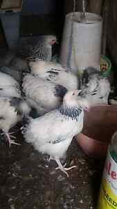 Chickens for sale Thomastown Whittlesea Area Preview